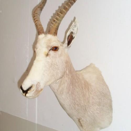 Blesbock blanco