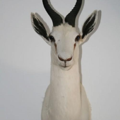 Springbock blanco